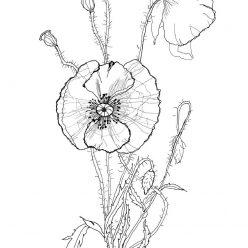 Раскраски антистресс цветы хорошего качества «Мак», чтобы распечатать