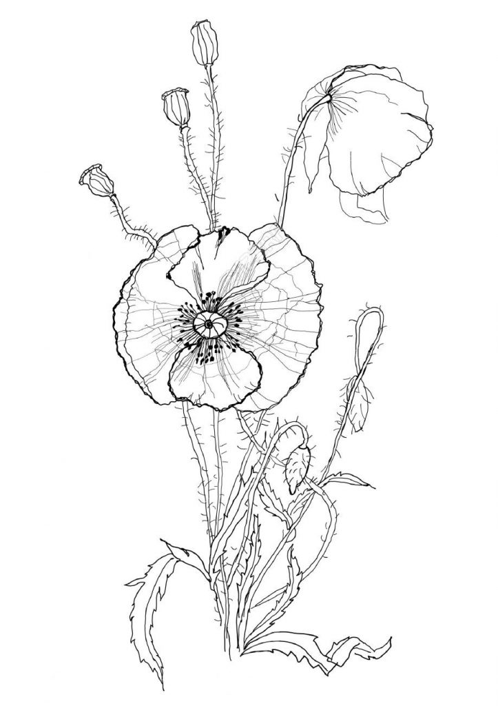 Мак - Цветы - Раскраски антистресс