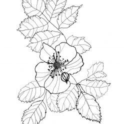 Раскраски антистресс хорошего качества «Ветка шиповника с цветком», чтобы распечатать
